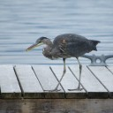 This heron was fishing from Pierre's Echo Bay marina dock.