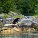 This bear curled up and took a nap in the sun, as we floated nearby in our anchorage.