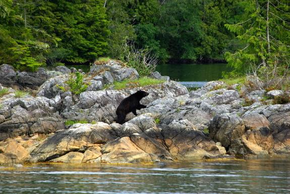 Bear at anchorage