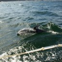 A group of these dolphins swam with us for more than an hour in Queen Charlotte Strait.