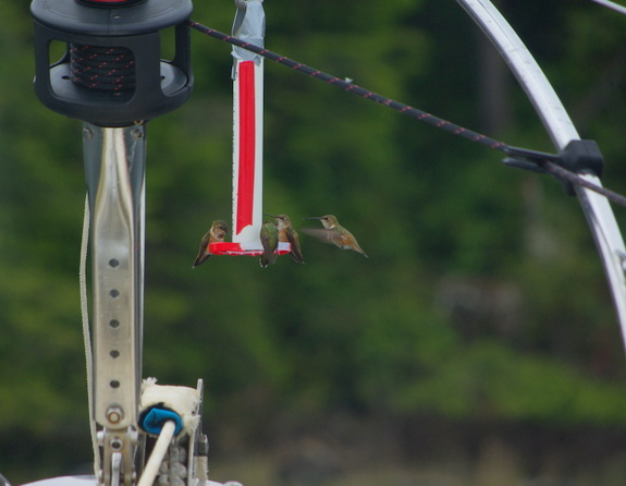 Hummingbirds in Barkley Sound